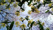 走在油菜花丛中赏樱花——岳阳羊角山生态博览园